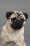Ritratto della testa di cane del carlino Immagini Stock