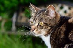 Ritratto della testa di profilo del lato del gatto di soriano Fotografie Stock