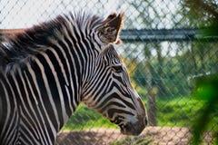 Ritratto della testa di una zebra fotografie stock libere da diritti