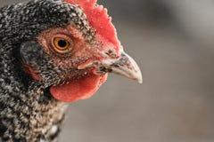 Ritratto della testa sveglia del pollo su un fondo vago all'aperto Immagine Stock Libera da Diritti