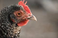 Ritratto della testa sveglia del pollo su un fondo vago all'aperto Fotografie Stock
