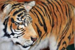 Ritratto della tigre Fotografie Stock