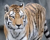 Ritratto della tigre del Amur immagini stock libere da diritti