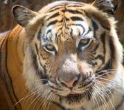 Ritratto della tigre del primo piano fotografia stock libera da diritti