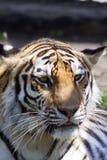 Ritratto della tigre dell'Amur immagine stock