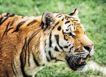 Ritratto della tigre siberiana (altaica del Tigri della panthera), closeu animale Fotografia Stock