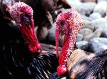 Ritratto della Turchia fotografia stock libera da diritti