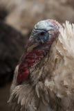 Ritratto della Turchia Fotografia Stock