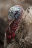 Ritratto della Turchia Fotografie Stock