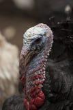 Ritratto della Turchia Immagine Stock