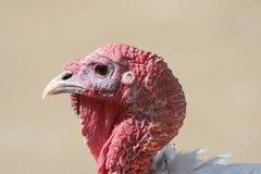 Ritratto della Turchia di ringraziamento Fotografie Stock