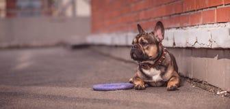 Ritratto della via del bulldog francese Immagine Stock