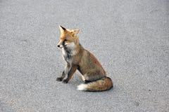 Ritratto della volpe rossa Immagini Stock Libere da Diritti