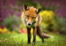 Ritratto della volpe rossa Fotografia Stock