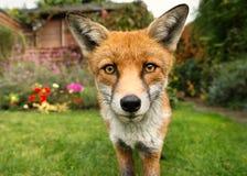 Ritratto della volpe rossa Fotografie Stock Libere da Diritti