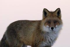 Ritratto della volpe rossa in inverno Immagini Stock