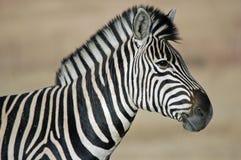 Ritratto della zebra. Fotografie Stock