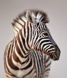 Ritratto della zebra immagini stock
