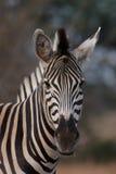 Ritratto della zebra Fotografie Stock