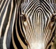 Ritratto della zebra Fotografia Stock