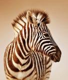 Ritratto della zebra Immagini Stock Libere da Diritti