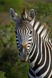 Ritratto della zebra Fotografia Stock Libera da Diritti