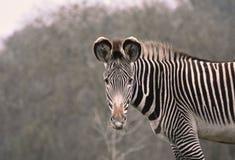 Ritratto della zebra - con il contatto oculare immagine stock