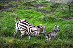 Ritratto della zebra del bambino Immagini Stock Libere da Diritti