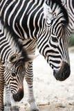 Ritratto della zebra del bambino e della madre Fotografia Stock Libera da Diritti