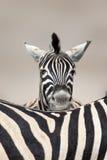 Ritratto della zebra di sonno immagine stock libera da diritti