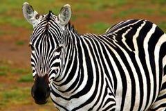 Ritratto della zebra selvaggia africana Fotografie Stock Libere da Diritti