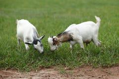 Ritratto delle capre africane Fotografie Stock Libere da Diritti