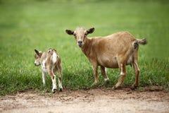 Ritratto delle capre africane Immagini Stock