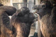 Ritratto delle coppie dei cammelli di dromadery Fotografia Stock Libera da Diritti