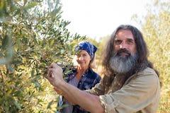 Ritratto delle coppie sicure che raccolgono le olive Fotografia Stock Libera da Diritti