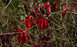 Ritratto delle foglie rosse Fotografia Stock