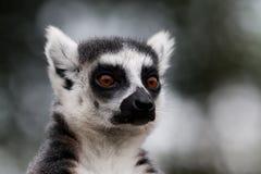 Ritratto delle lemure Immagini Stock