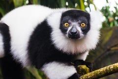 Ritratto delle lemure Fotografia Stock Libera da Diritti