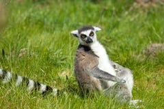 Ritratto delle lemure Immagini Stock Libere da Diritti