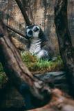 Ritratto delle lemure catta nella cattività Immagini Stock