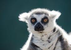 Ritratto delle lemure catta su un fondo verde scuro Fotografia Stock
