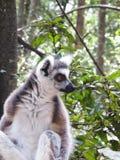 Ritratto delle lemure a Monkeyland sull'itinerario del giardino, Sudafrica immagine stock