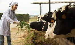 Ritratto delle mucche d'alimentazione del veterinario in cowhouse all'aperto Fotografie Stock
