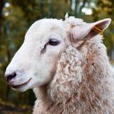 Ritratto delle pecore fotografia stock libera da diritti