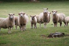 Ritratto delle pecore Immagini Stock