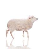 Ritratto delle pecore in cappello di natale su bianco Immagini Stock