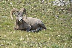 Ritratto delle pecore del Big Horn Immagine Stock