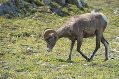 Ritratto delle pecore del Big Horn Fotografia Stock