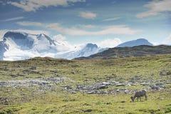 Ritratto delle pecore del Big Horn Fotografia Stock Libera da Diritti