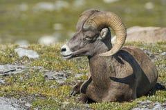 Ritratto delle pecore del Big Horn Fotografie Stock Libere da Diritti